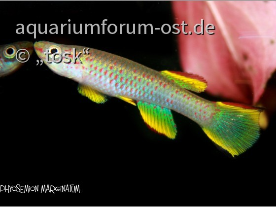Aphysemion marginatum