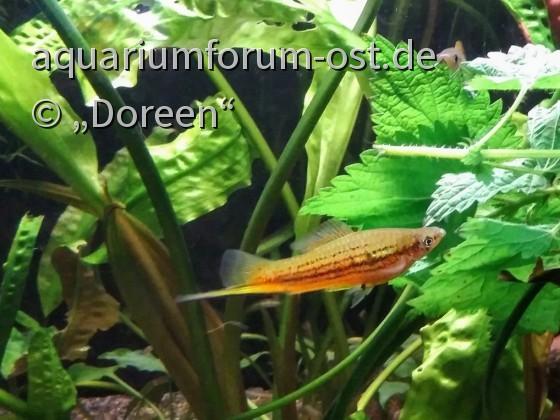 Xiphophorus helleri - Aquarienstamm