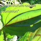 Echinodorus RedRock