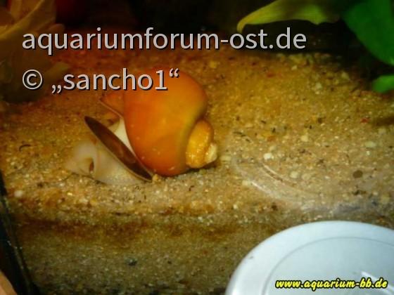 Apfelschnecke von sancho1