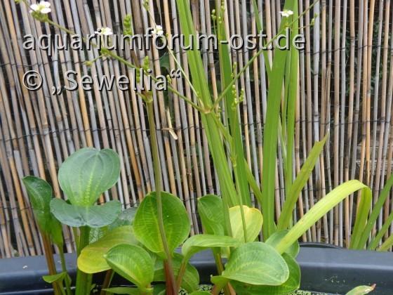 Rundblättriger Froschlöffel (Alisma parviflora) mit Blütenstand