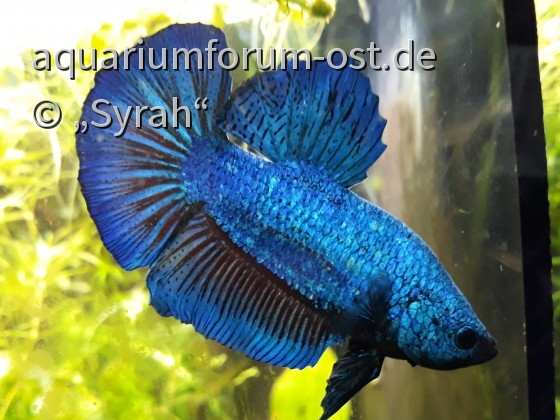 Giant Betta splendens