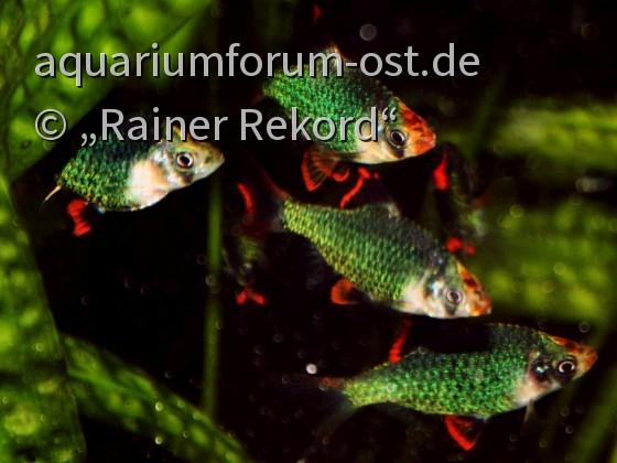 Moosgrüne Sumatrabarbe oder Viergürtelbarbe (Puntigrus cf. tetrazona) 5