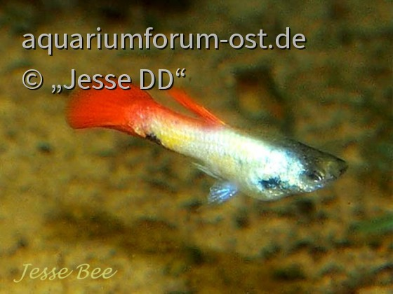 Guppy 'Golden Nugget' (Red Galaxy mit Störzbach)