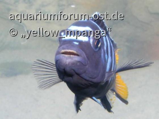 """Pseudotropheus sp. """"Elongatus Mpanga"""""""