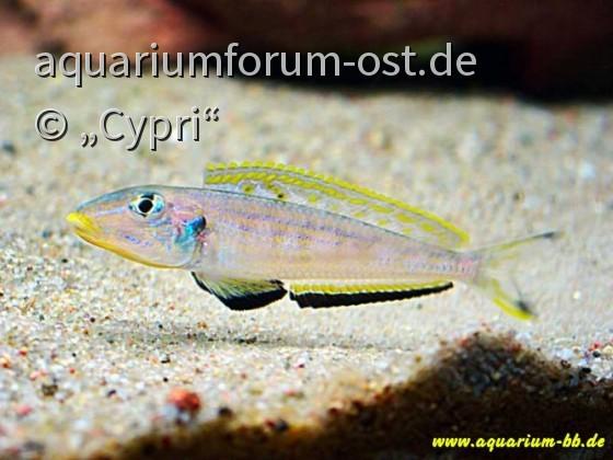 "Enantiopus melanogenys ""Kilesa"""