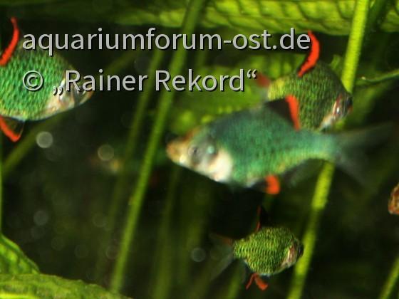 Moosgrüne Sumatrabarbe oder Viergürtelbarbe (Puntigrus cf. tetrazona) 3