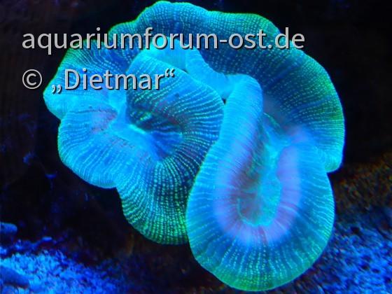 Faszination Fluoreszenz der Steinkorallen