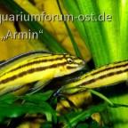 """Julidochromis regani """"Kipilli"""""""