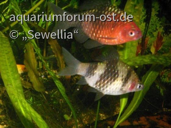 Männliche und Weibliche Purpurkopfbarben (Pethia nigrofasciata)