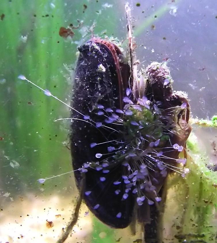 Mytilus edulis