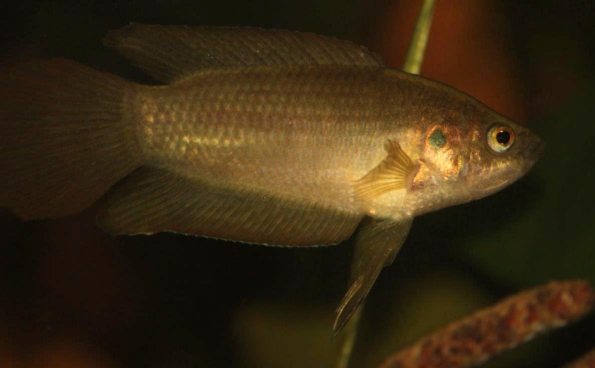 Macropodus ocellatus