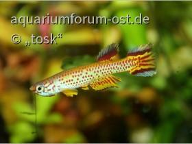 Aphyosemion (Aphyosemion) spec Ntoba Kopie.jpg