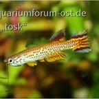 "Aphyosemion spec. Ntoba ""FCCO 2013-15"""