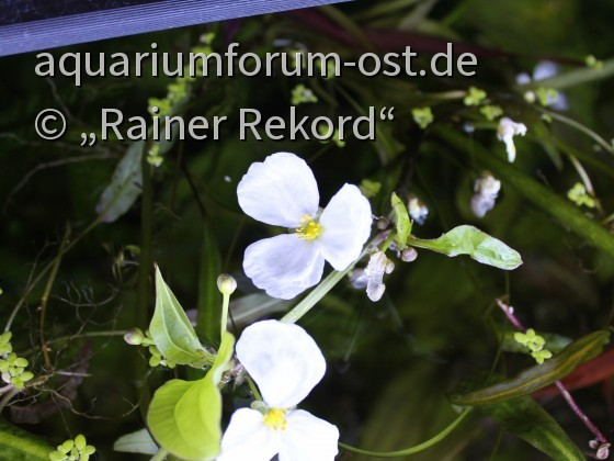 Blüte einer gefleckten Echinodorus