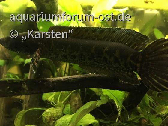 Channa aurantimaculata - junges Männchen