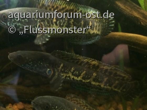 channa aurantimaculata, Jungfischgruppe ca.13cm  Oben der Bock?  ;)