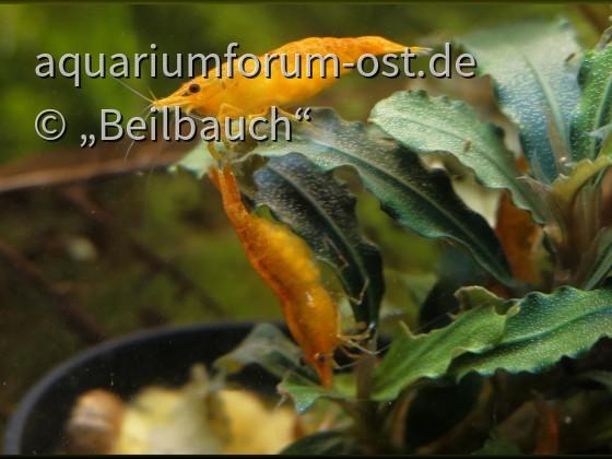Neocaridina davidi orange auf Bucephalandra
