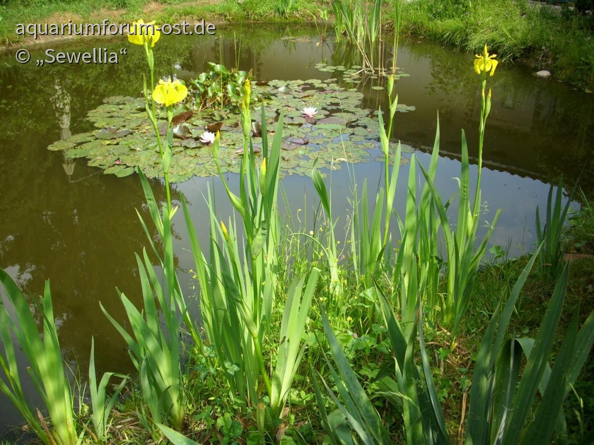 Gelbe Sumpfschwertlilie (Iris pseudacorus)