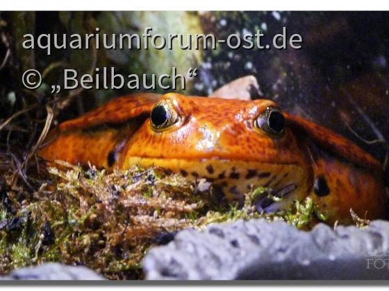 Tomatenfrosch (Dyscophus guineti) aus Madagaskar im Zoo-Aquarium Berlin