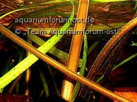 Roter Tigerlotos, Nymphaea lotos- Blütenknospe von der Entstehung bis zum Ende