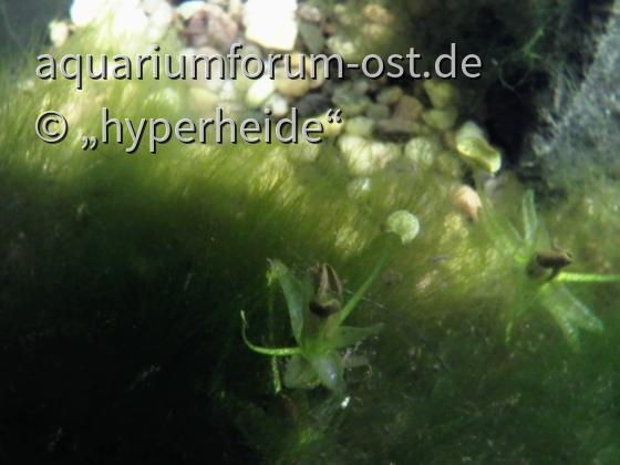 Europäischer Froschbiss erwacht
