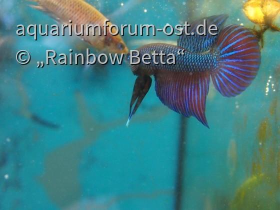 Betta smaragdina LONG FIN