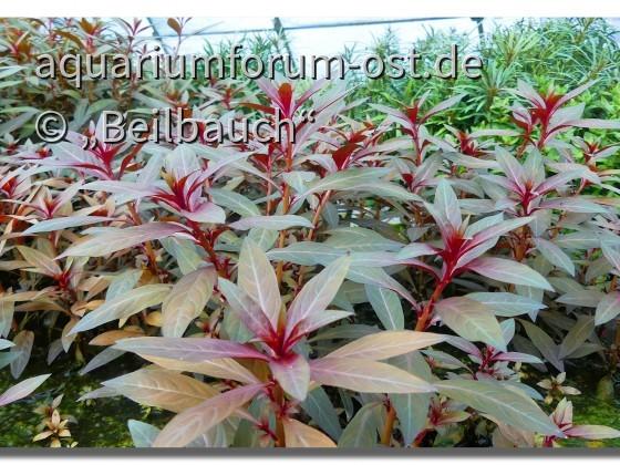 Rote Stern-Ludwigie, (Ludwigia glandulosa). in der Wasserpflanzengärtnerei Oliver Krause, emers