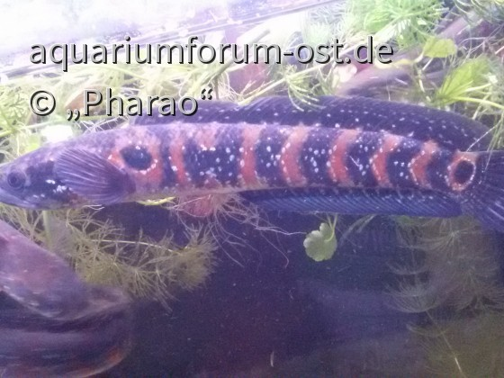 Channa asiatica red