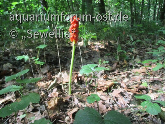 Gefleckter Aronstab (Arum maculatum) Fruchtstand - STARK GIFTIG!