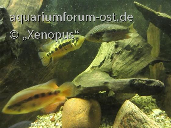 Parachromis loisellei (Panama)
