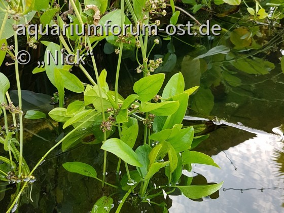 Echinodorus spec. Malaysia