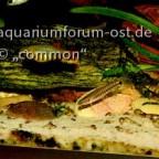 Zwerg-Tigerschmerle, Yunnanilus cruciatus