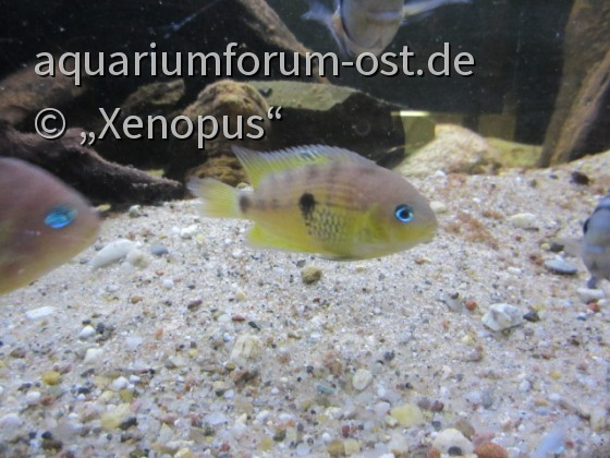 Cryptoheros myrnae / Topaz-Buntbarsch - Weibchen