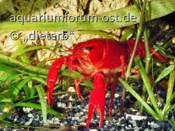 Rote Amerikanische Sumpfkrebs (Procambarus clarkii)