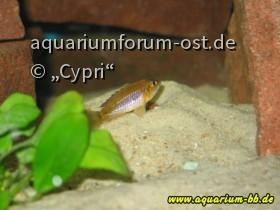 """Lamprologus ocellatus """"Gold"""" Weibchen"""