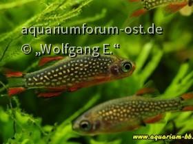 Celestichthys margaritatus (Perlhuhnbärbling)