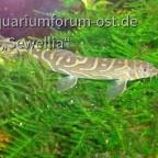 Zodiac Schmerle (Mesonoemacheilus triangularis) im Erect Moos (Vesicularia reticulata)