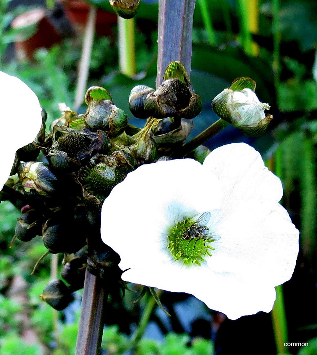 Freiland-Echinodorus, Amazonasschwertpflanzen