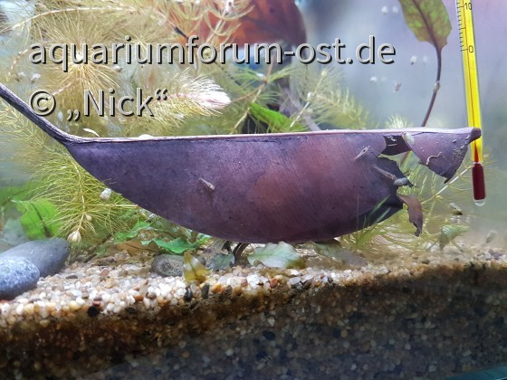 Ficus elastica im Aquarium