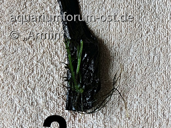 Hymenasplenium obscurum