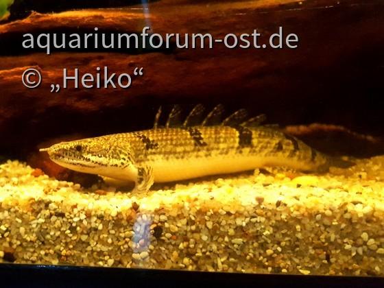 Polypterus delhezi-Zaire Flösselhecht