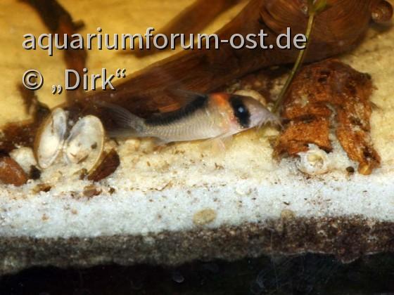 Corydoras duplicareus