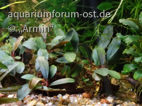 НОВИНКА!!! Bucephalandra sp. Suang blue -Suang blue