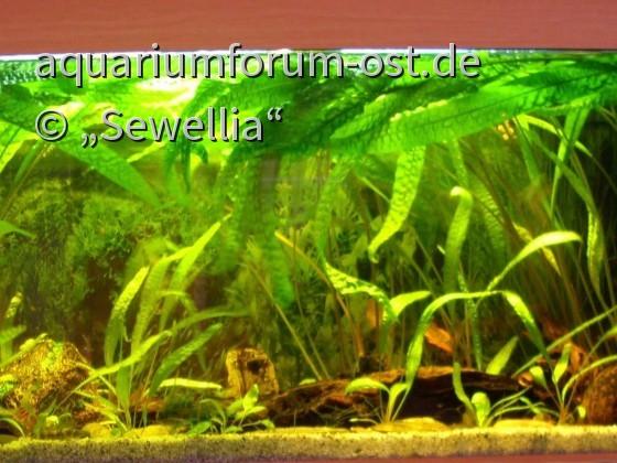 Juwel Aquarium Rio 180 mit Cryptocoryne aponogetifolia