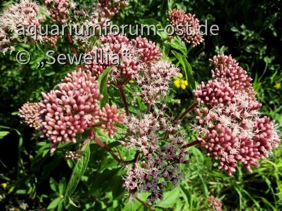 Wasserdost Blüten  (Eupatorium cannabinum)