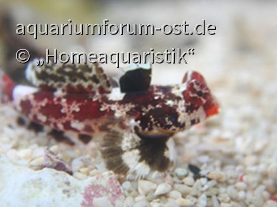 Synchiropus stellatus  -Stern-Mandarinfisch