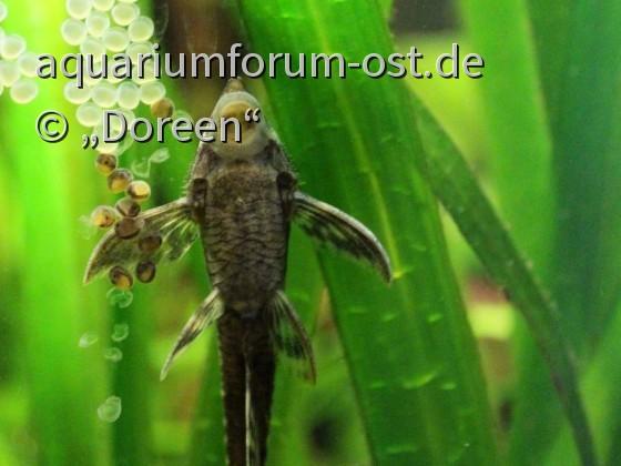 Sturisoma festivum mit zwei unterschiedlich alten Gelegen