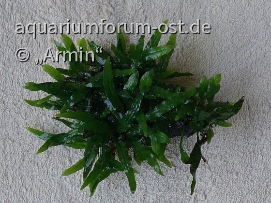 "Microsorum pteropus ""Short Narrow Leaf"""