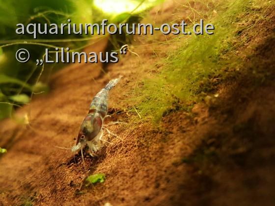 Neocaridina davidi 'kunterbunt' :)